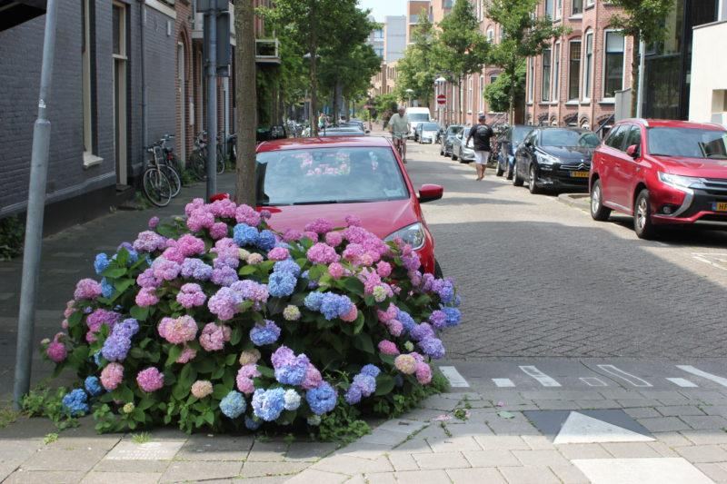オランダユトレヒトの道端に咲く紫陽花