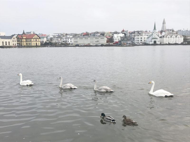 アイスランドの首都のレイキャビクの白鳥のアビーロードとハットルグリムス教会